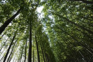 Looking up toward the tree canopy in forest.