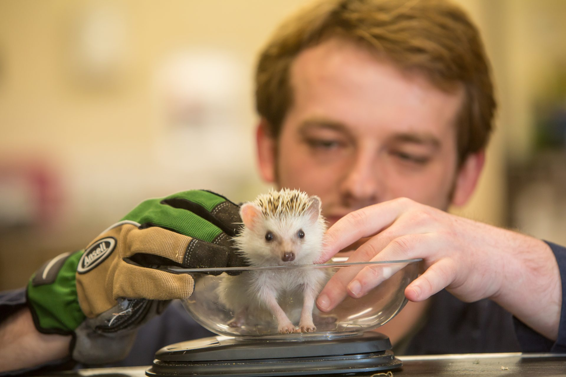 Animal science student weighing hedgehog.