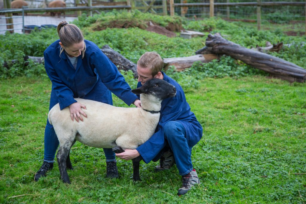 Animal care students with sheep on Animal Unit.