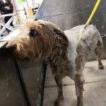 Small dog with shampoo in grooming shower