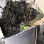 Black dog in grooming bath