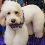 White fluffy dog at dog grooming show